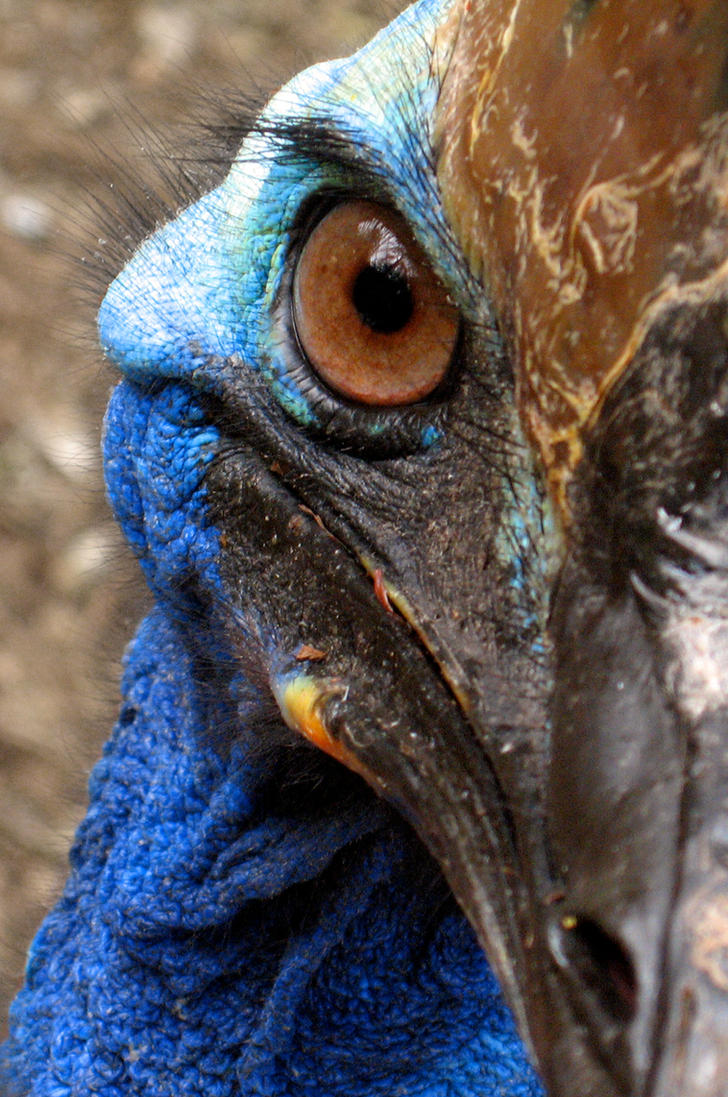 Cassowary Bird Wallpaper