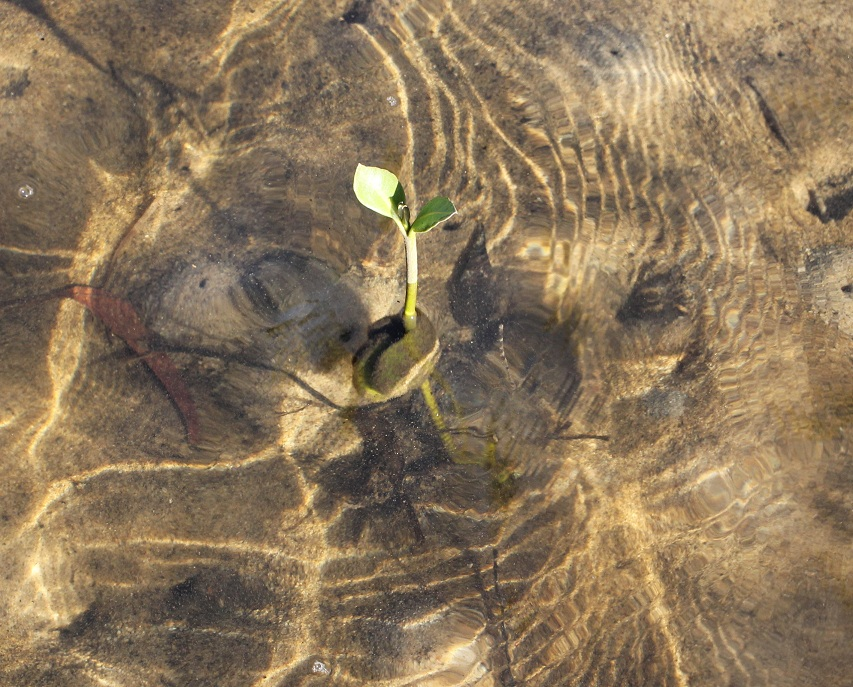 Baby mangrove by Rahball