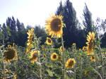 sunflowers under the sky