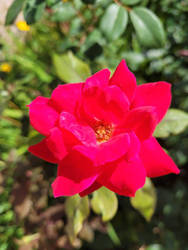 Red Rose in the Light