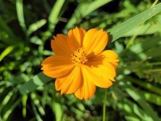 Orange Flower in the Sun