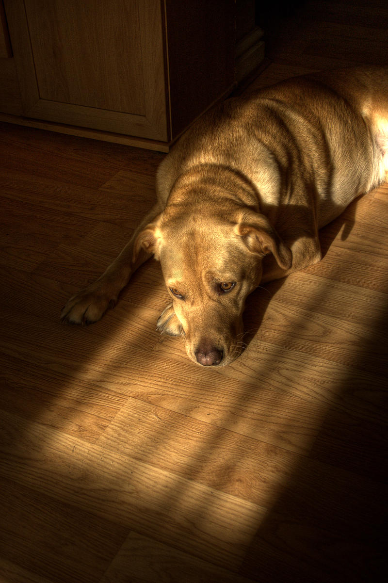 Labrador in the evening sun. by jon3782001