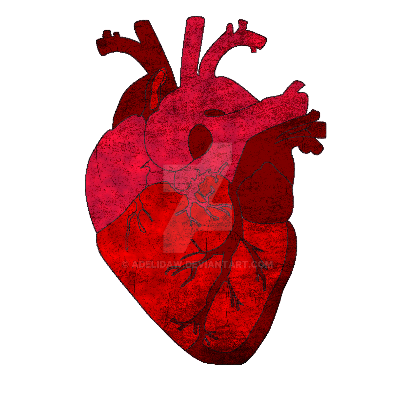 human heart The heart is a mostly hollow, muscular organ composed of cardiac muscles and connective tissue that acts as a pump to distribute blood throughout the body's tissues.