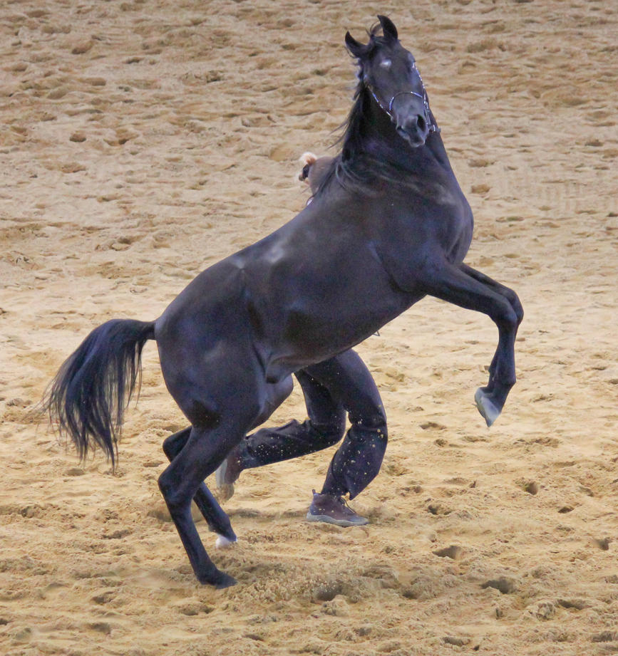 STOCK - Arabian Colt Rear by fillyrox