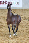 STOCK - Arabian Colt 82