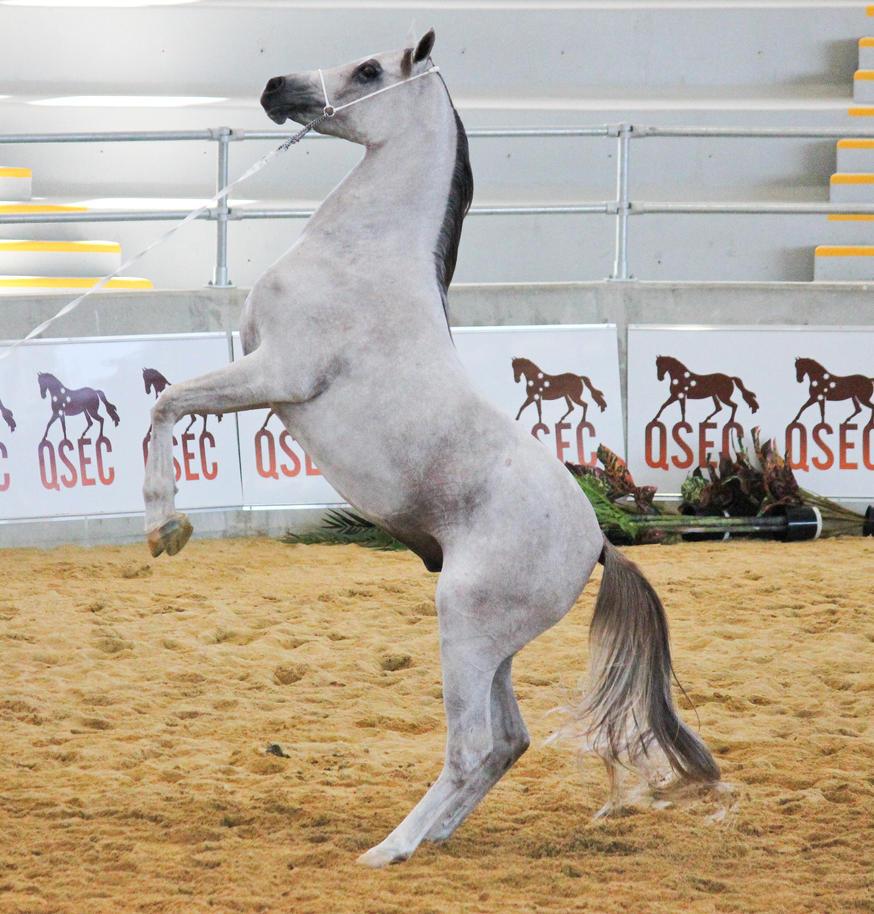 STOCK - Arabian Gala Event 044 by fillyrox