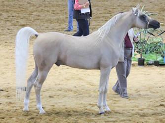 STOCK - Arabian Gala Event 094 by fillyrox