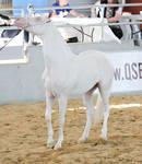 STOCK - Arabian Gala Event 259