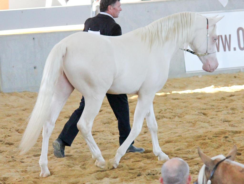 STOCK - Arabian Gala Event 263 by fillyrox