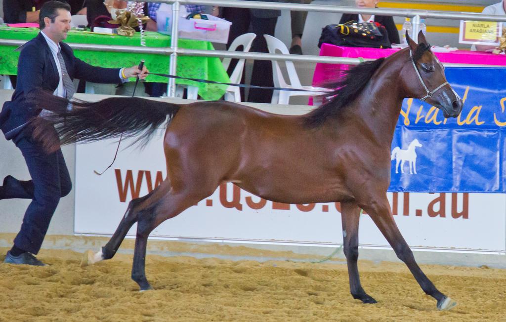STOCK - Arabian Challenge 200 by fillyrox
