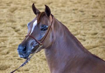 STOCK - Arabian Challenge 226 by fillyrox