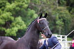 STOCK - Friesian Show 2012-71
