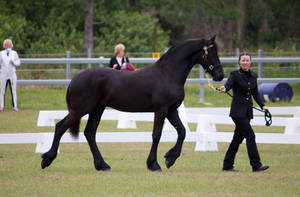 STOCK - Friesian Show 2012-60 by fillyrox