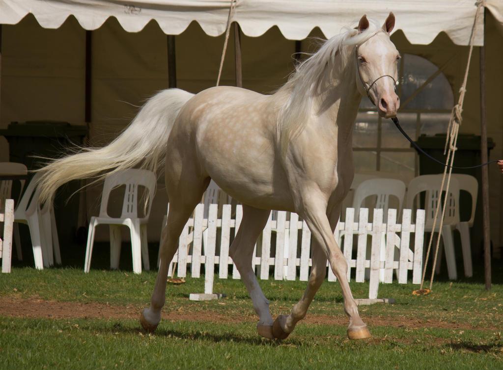 STOCK - TotR Arabians 2013-58 by fillyrox