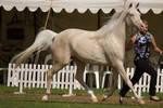 STOCK - TotR Arabians 2013-56