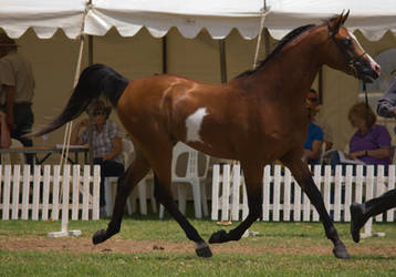 STOCK - TotR Arabians 2013-162 by fillyrox
