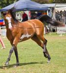 STOCK - TotR Arabians 2013-151