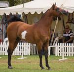 STOCK - TotR Arabians 2013-149