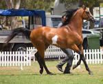 STOCK - TotR Arabians 2013-148