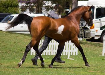 STOCK - TotR Arabians 2013-136 by fillyrox