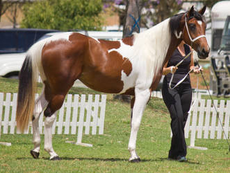 STOCK - TotR Arabians 2013-133 by fillyrox
