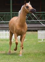 STOCK - TotR Arabians 2013-118 by fillyrox