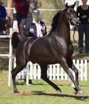 STOCK - TotR Arabians 2013-300