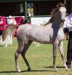 STOCK - TotR Arabians 2013-269