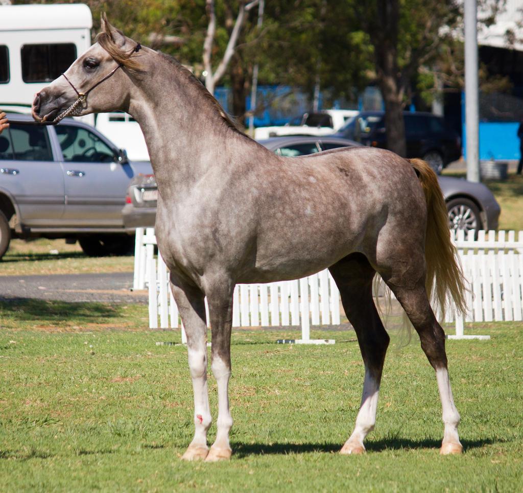 STOCK - TotR Arabians 2013-211 by fillyrox