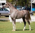 STOCK - TotR Arabians 2013-211