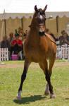 STOCK - TotR Arabians 2013-469