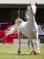 STOCK - TotR Arabians 2013-445 by fillyrox