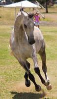 STOCK - TotR Arabians 2013-397