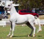 STOCK - TotR Arabians 2013-331