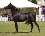 STOCK - TotR Arabians 2013-320