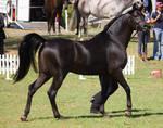 STOCK - TotR Arabians 2013-315