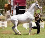STOCK - TotR Arabians 2013-434