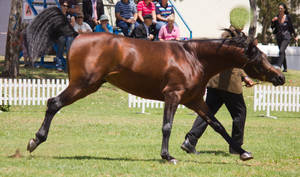 STOCK - TotR Arabians 2013-410 by fillyrox