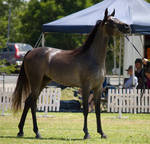 STOCK - TotR Arabians 2013-556