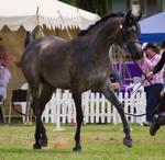 STOCK - TotR Arabians 2013-547