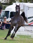 STOCK - TotR Arabians 2013-541
