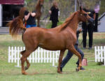 STOCK - TotR Arabians 2013-537