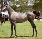 STOCK - TotR Arabians 2013-513