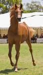 STOCK - TotR Arabians 2013-506 by fillyrox