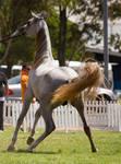 STOCK - TotR Arabians 2013-618 by fillyrox