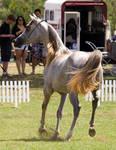 STOCK - TotR Arabians 2013-609 by fillyrox