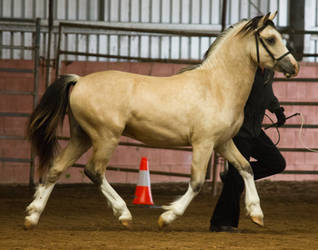 STOCK - 2014 Welsh QLD Show-32 by fillyrox