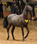 STOCK - 2014 Andalusian Nationals-99