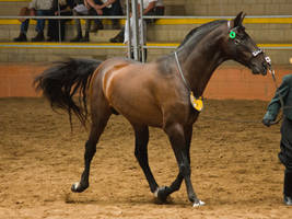 STOCK - 2014 Andalusian Nationals-104 by fillyrox