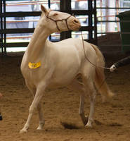 STOCK - 2014 Andalusian Nationals-192 by fillyrox